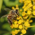 les capitules odorante de la fleur de Buplèvre