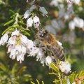 la Bruyère Blanche fleurit en avril