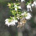 l abeille et la Bruyère Blanche communion parfaite