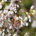 l abeille se delecte sur la Bruyère Blanche