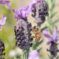 Wild Lavender Honey