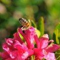 Rhododendronhonig