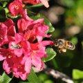 le pollen de rhododendron est jaune clair