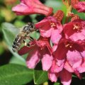 Rhododendron Honey