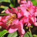 Miel de Rododendro