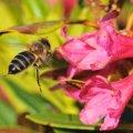 les abeilles apprécient beaucoup les rhododendrons