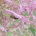 Le Tamaris une attraction pour les abeilles