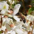 la fleur d'Acacia
