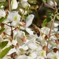 la profondeur des corolles des fleurs d acacia