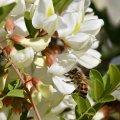 floraison d'acacia