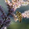 l abeille butine le Tamaris