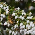 White heather Honey