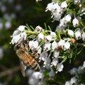 Miel de Bruyère Blanche saveur du maquis