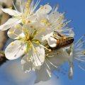 Fleur de merisiers