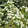L'aubépine en pleine floraison