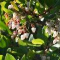 Erdbeerbaumhonig