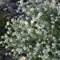Le Dorycnium en fleurs