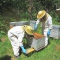 Récolte du pollen