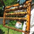 Les abeilles éleveuses