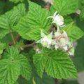 la fleur de framboisier vient de s'ouvrir et s'apprete à acceuillir les pollinisateurs