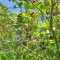 Raspberry Berg