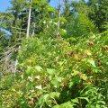 les Framboisiers sauvages prospèrent abondement dans les coupes de bois ici à 1800 m d'altitude