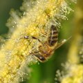 collecting pollen and nectar on the flowers of chestnut