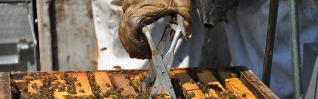 La propolis est partout dans la ruche elle colle les éléments