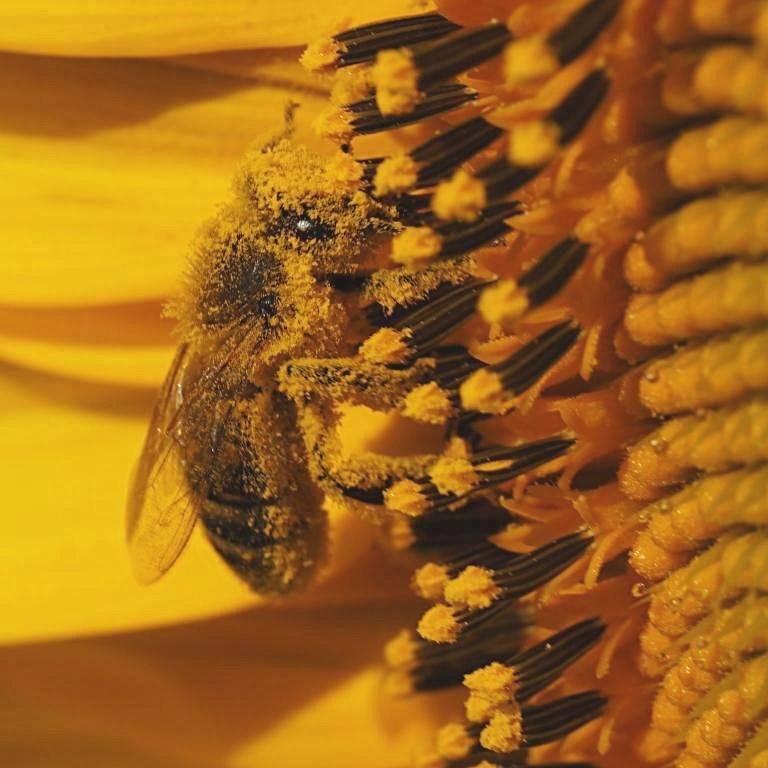 Un travail essentiel pour la nature accompli par l'abeille