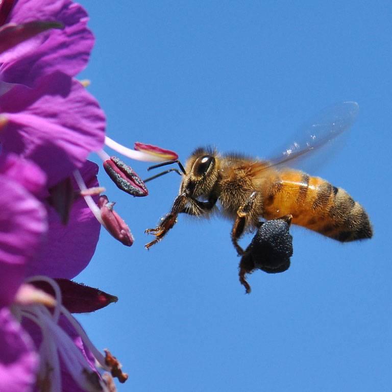 Une abeille visite une fleur d'Epilobe ses pattes sont chargées du précieux pollen qui permettra à la plante de se reproduire